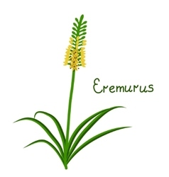 Eremurus plant iilustration vector