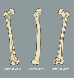 Thigh bone anatomy vector