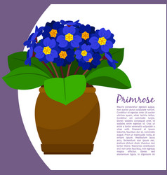 Primrose indoor plant in pot banner vector