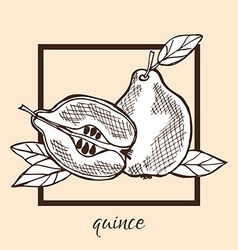 Hand drawn quinces vector