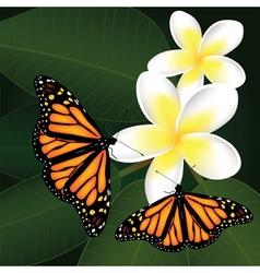 frangipani and butterflies vector image vector image