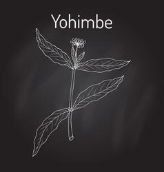 Yohimbe pausinystalia johimbe medicinal plant vector