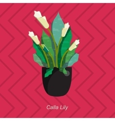 Flat of indoor homeplant calla vector