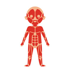 Boy body anatomy with muscular system vector