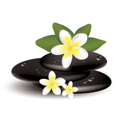 frangipani flowers and stones vector image