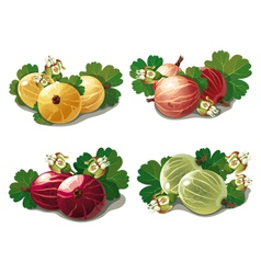 Set of ripe gooseberries vector