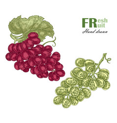 green and rouge grapes branch isolated on white vector image vector image