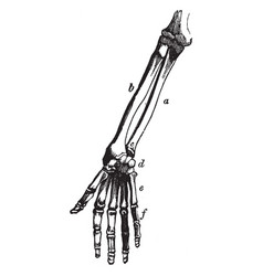 bones of the arm and hand vintage vector image vector image