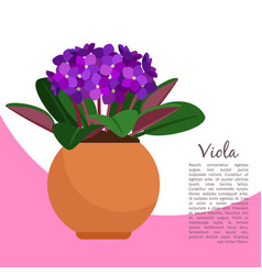 Viola plant in pot banner template vector