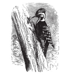 Middle spotted woodpecker vintage vector