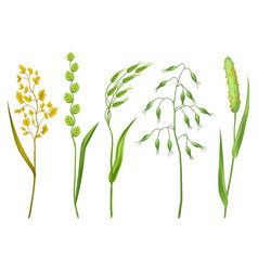 set of herbs and cereal grass floral collection vector image