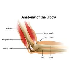 Anatomy of the human elbow vector