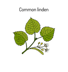 linden branch with leaves and flowers vector image