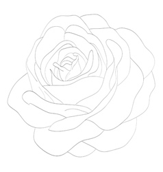 black and white rose isolated on white background vector image vector image