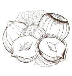 Hazelnut isolated on white background vector