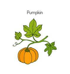 pumpkin with leaves vector image vector image