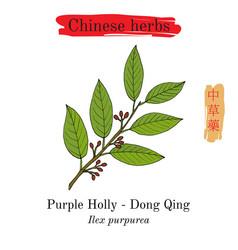 Medicinal herbs of china purple holly ilex vector