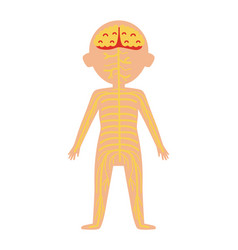 boy body anatomy with nervous system vector image