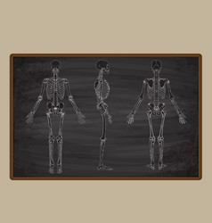 human skeleton blackboard drawing vector image
