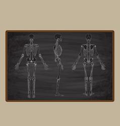 human skeleton blackboard drawing vector image vector image