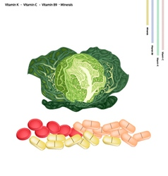 Fresh savoy cabbage with vitamin k c and b9 vector