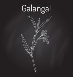 Galangal alpinia officinarum medicinal plant vector