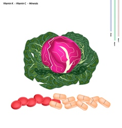 Fresh Red Cabbage with Vitamin K and Vitamin C vector image