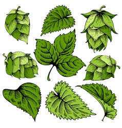 Hops graphic set vector image