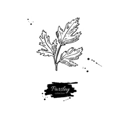 Parsley hand drawn isolated vector