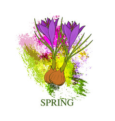 spring greeting card with crocus flower vector image