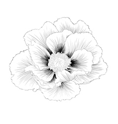 Black and white plant paeonia arborea tree peony vector
