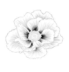 Black and white plant paeonia arborea tree peony vector