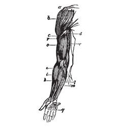 Arm muscle vintage vector