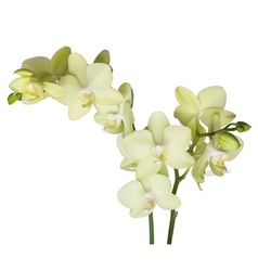 Orchidee vector image