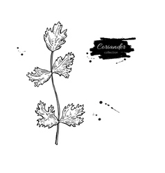Coriander plant hand drawn vector