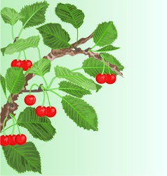 Cherry old branch with leaves and berries vector