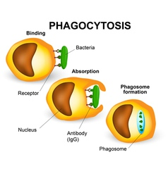 Phagocytosis vector