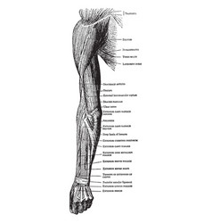 Muscles on the back of the arm forearm and hand vector