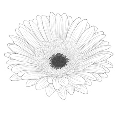 black and white gerbera flower isolated vector image vector image