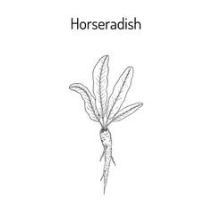 horseradish cochlearia armoracia - vegetable vector image