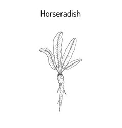 horseradish cochlearia armoracia - vegetable vector image vector image