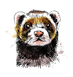 Colored hand sketch head ferret vector