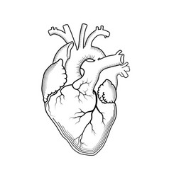 Heart the internal human organ anatomical vector