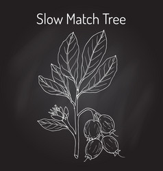 Slow match tree careya arborea medicinal plant vector