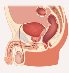 Male reproductive system median section vector