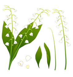 White lily of the valley isolated on white vector