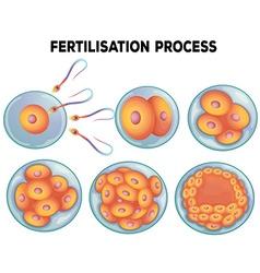 Diagram of fertilisation process vector