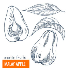 malay apple hand drawn vector image vector image