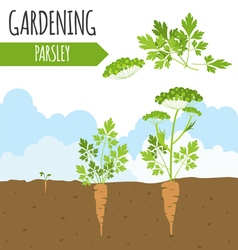 Garden parsley plant growth vector