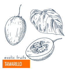 tamarillo hand drawn vector image